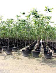 franklin tn nursery image of trees in pots